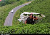 Tea-Leaf Picking in Iran's Northern Gilan Province