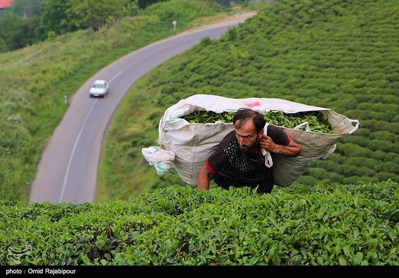 ۱۳ میلیارد تومان تسهیلات بهزراعی به چایکاران پرداخت شد