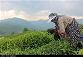 گیلان| 133 میلیارد تومان از مطالبات چایکاران شمالی پرداخت شد