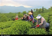 تغییر ذائقه ایرانیها به چای ناب ایرانی / تامین 29 درصد چای مورد نیاز کشور در داخل