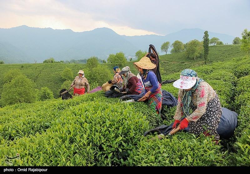 ۱۰ هزار چایکار شمالی از تسهیلات بهزراعی باغات چای بهرهمند شدند