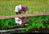وزارت جهاد کشاورزی: 4.4 میلیون تن برنج داریم، کمبودی در کار نیست