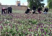 """آیا صادرات """"گیاهان دارویی"""" میتواند جایگزین فروش """"نفت"""" ایران شود"""