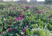 بیش از 3 هزارهکتار از اراضی خراسان جنوبی زیرکشت گیاهان دارویی است