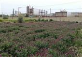 26 طرح فناورانه گیاهان دارویی در اردبیل اجرا میشود