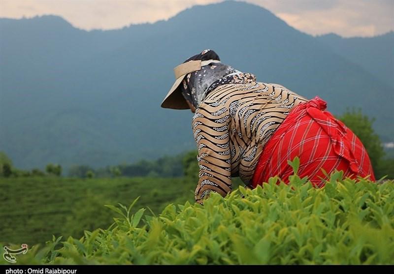 گیلان| چین بهاره برگ سبز چای در مزارع شرق گیلان + تصاویر