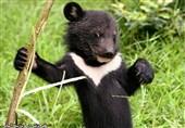 میلههای قفس در انتظار توله خرس سیاه هرمزگان