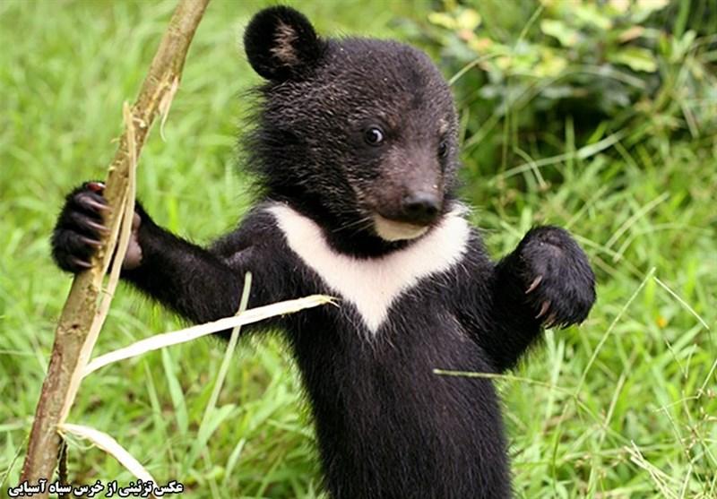 میلههای قفس در انتظار توله خرس سیاه هرمزگان ,