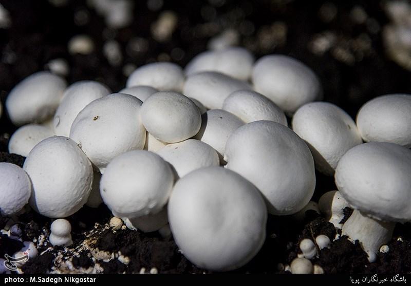 یزد   مردم از خرید قارچهای فلهای اجتناب کنند - اخبار تسنیم - Tasnim