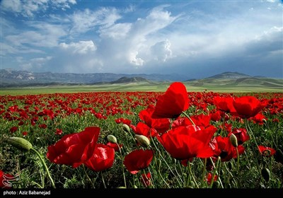 دشت شقایق ها - خرم آباد