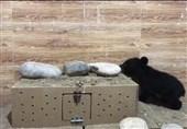 حال کاریزا خوب است / آخرین وضعیت توله خرس سیاه هرمزگان + فیلم
