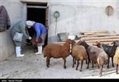 قزوین|تخصیص اعتبار واکسیناسیون از خسارت میلیاردی به صنعت دام و طیور جلوگیری میکند
