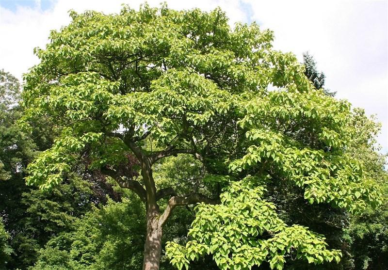 """چرا باید جلوی کاشت درخت مهاجم """"پالونیا"""" را گرفت"""