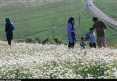 اردبیل| ششمین جشنواره گلهای بابونه در جنگل فندقلوی نمین برگزار شد