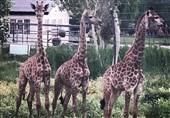 زرافه آفریقای جنوبی به باغ وحش صفادشت رسیدند + فیلم