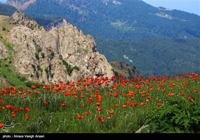 دشت گل های شقایق در منطقه سوباتان