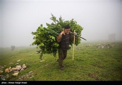 احمد روستایی در حال آوردن غذای دام از جنگل