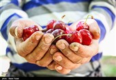 «کشاورزی» ناجی اقتصاد| افزایش 4 برابری قیمت میوه از باغ تا مغازه/دلالان سرسفره کشاورزان