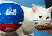 جام جهانی 2018| گربه پیشگو نتیجه بازی ایران و مراکش را پیشبینی میکند