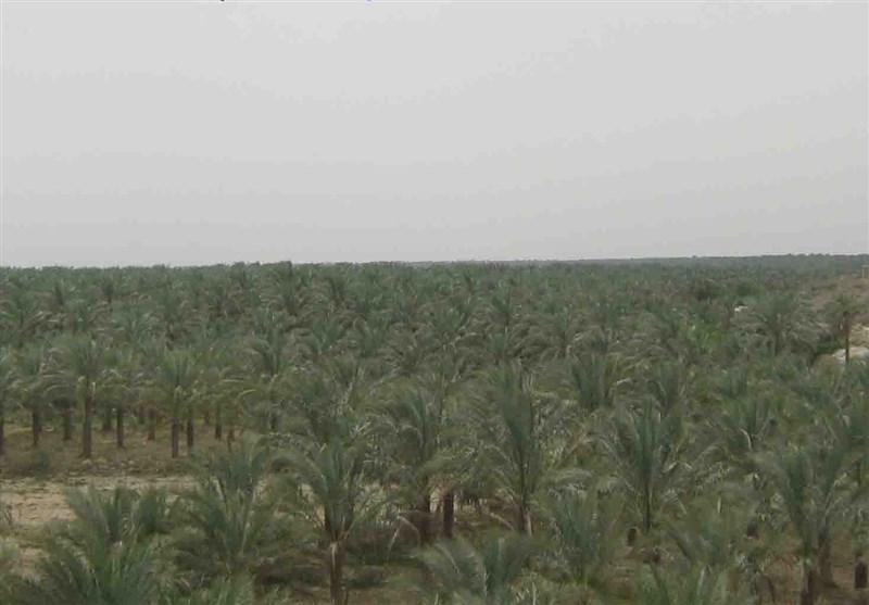 بوشهر|طرح نخلستان در 8700 هکتار از اراضی شبانکاره دشتستان اجراء میشود