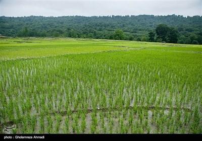 ایران کے صوبہ مازندران میں چاول کی کاشت