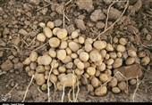اقتصاد بدون نفت؛ برداشت 31000 تُن سیبزمینی از مزارع خراسانشمالی بهروایت تصویر