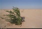 عملیات بوتهکاری در حاشیه دریاچه ارومیه تا میزان 85 درصد گرد و غبار را کاهش داد