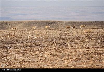 وضعیت نامناسب زیستگاه آهوان دشت سهرین