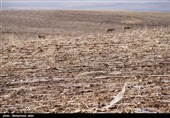 چالشهای تنها زیستگاه آخرین بازمانده آهوی ایرانی در زنجان؛ آیا آهوان دشت سهرین تلف میشوند؟
