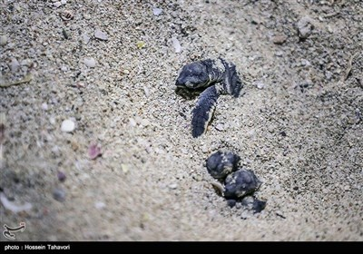 جزیرہ کیش میں کچھوؤں کی پیدائش اور حفاظتی اقدامات
