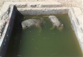 لاشه ۲ قلاده گراز در دریچه منهول آب شرب دمچنار بویراحمد پیدا شد