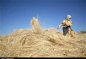 71 هزار تن گندم از کشاورزان مناطق گرمسیری کرمانشاه خریداری شد