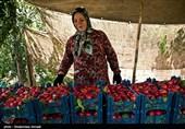 بیش از 25 هزار تن شلیل از باغات آذربایجانغربی برداشت میشود