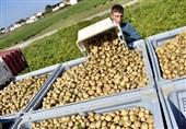 صادرات مدیریت نشده، قیمت سیبزمینی را در همدان چند برابر کرد