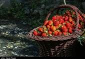 14 هزار تن توت فرنگی در بابلسر تولید میشود