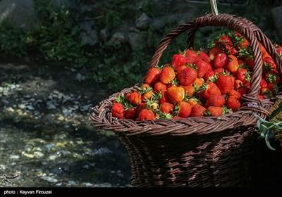 نخستین جشنواره برداشت توت فرنگی استان کردستان