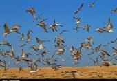 پرندگان زمستانگذر در استان بوشهر پایش میشوند