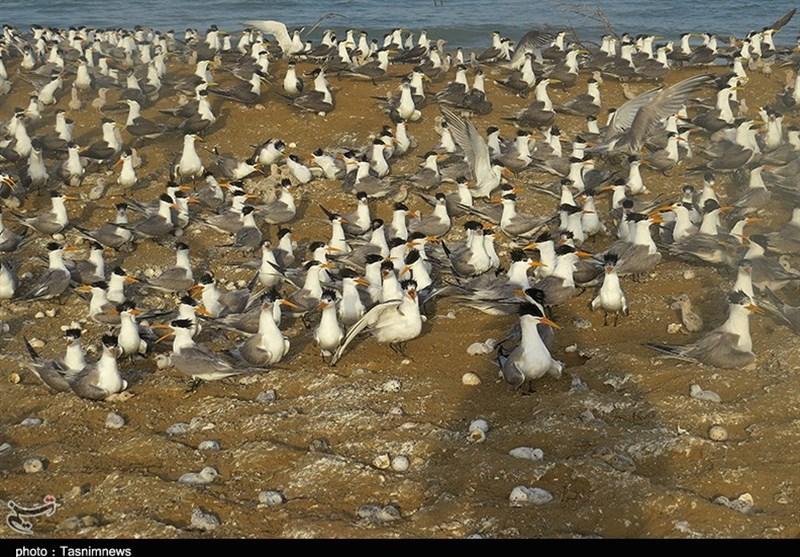 حلقه گذاری پرندگان مهاجر تابستان گذر در زیستگاه پرندگان استان بوشهر به روایت تصویر جزیره نخیلو