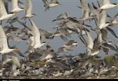 بیماری آنفلوانزای پرندگان در استان بوشهر وجود ندارد