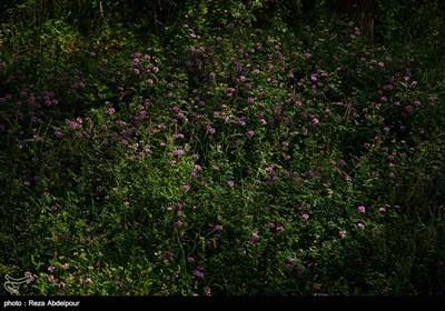 هشتمین جشنواره گل محمدی در روستای گردشگری عنصرود شهرستان اسکو - تبریز