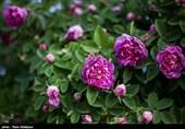 صنعتی سازی پروسه فرآوری گل محمدی در آذربایجان غربی در ورطه فراموشی