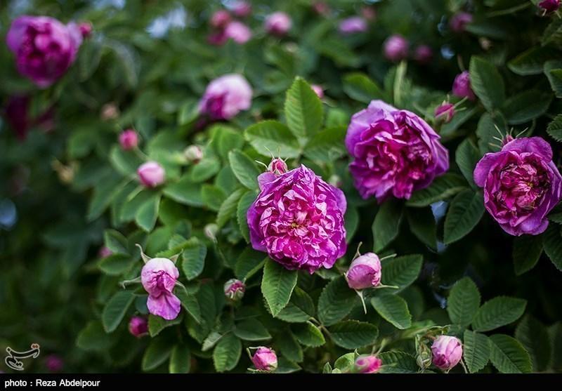 آغاز فصل پرطراوت برداشت گل محمدی در آذربایجان غربی