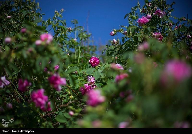 سطح زیر کشت گل محمدی در ایلام توسعه مییابد