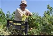 انگور خراسان رضوی در مسیر بازارهای جهانی؛ فقدان صنایع تبدیلی همچنان مشکلساز است