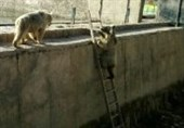 پایین آمدن خرسهای تحت حفاظت در ایران از نردبان+فیلم