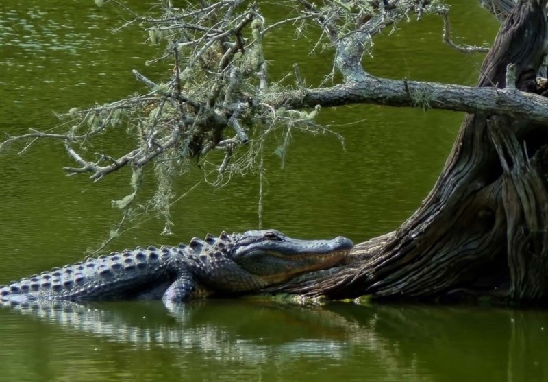 تمساح 3متری، قربانی کنجکاوی دختر 15ساله