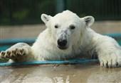 جام جهانی 2018 | خرس سفید برنده نبرد روسیه با کرواسی را پیشبینی کرد + عکس