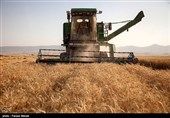 108 هزار تن گندم از اراضی استان بوشهر برداشت میشود
