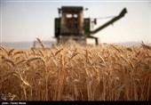 تولید یک میلیون و 252 هزار تن گندم در کردستان پیشبینی شده است