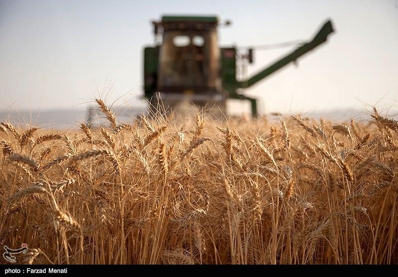 پیشبینی افزایش تولید گندم کشور با وجود سیل/ خودکفایی امسال هم تکرار میشود